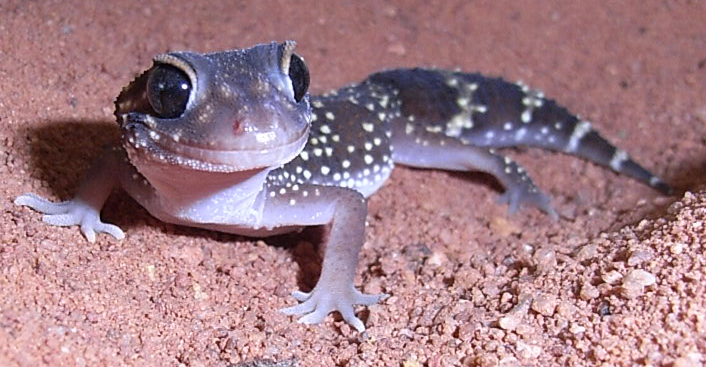 Thick-Tailed Gecko